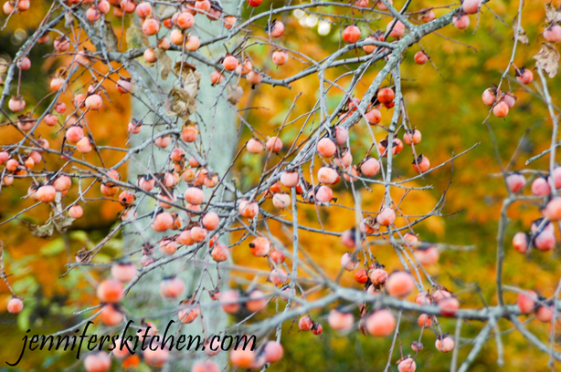 When To Harvest Wild Persimmons
