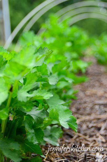 how to grow parsnips nz