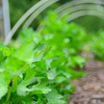 How to Grow Parsnips in the Garden