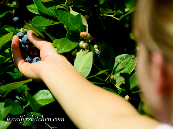 Blueberries-Pick-Your-Own