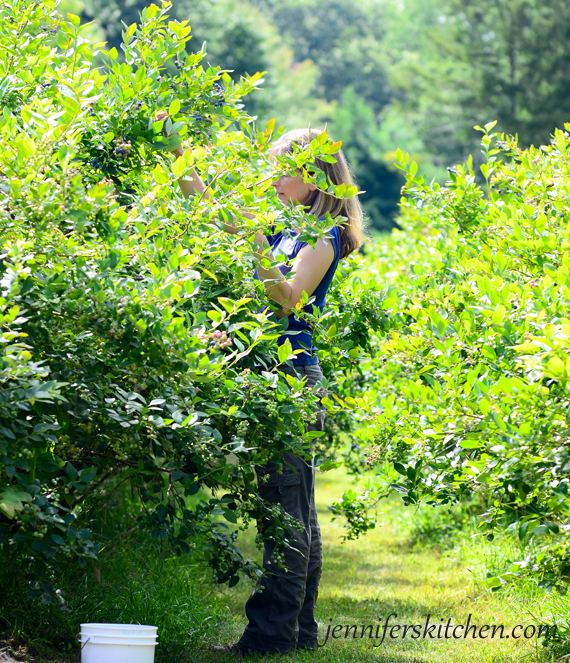 Picking Blueberries at the Blueberry Farm