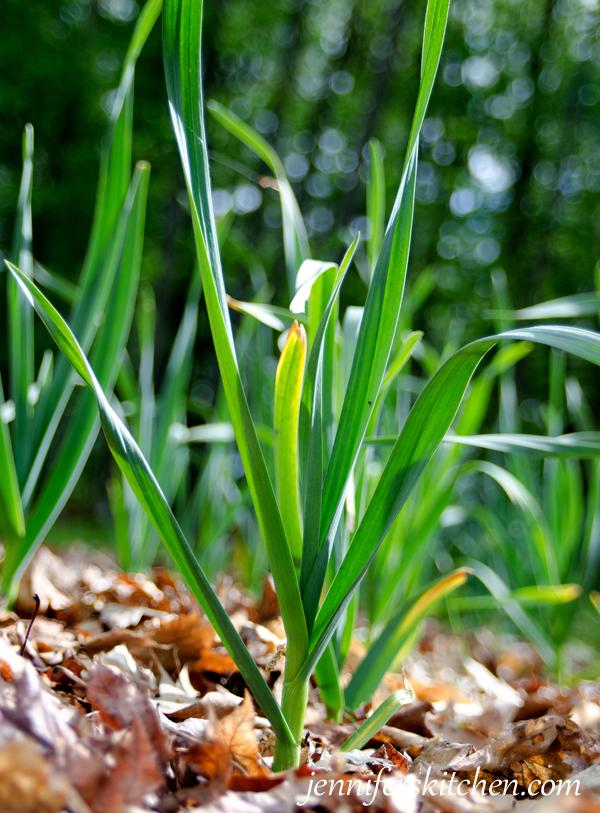 Growing Baby Garlic