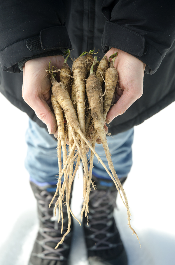 Growing parsnips in the winter