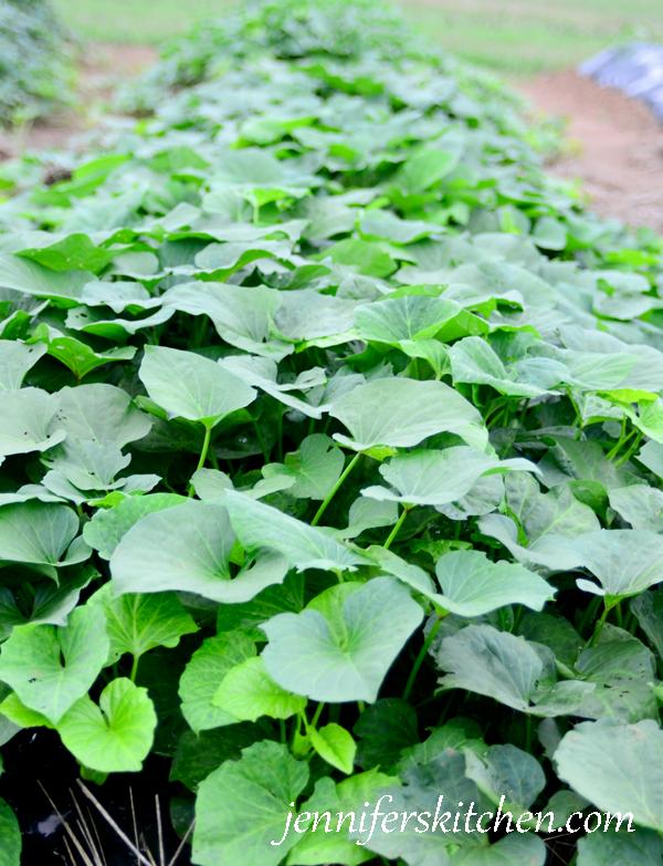 sweet-potato-plants-600